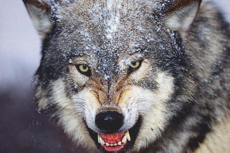 Video: Un Lobo Vuelve A La Vida Para Vengarse De Su Cazador