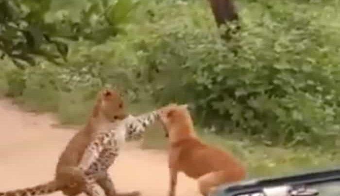Video: Perro callejero ahuyenta a un leopardo