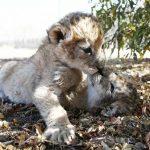 Muestran los primeros cachorros de león nacidos artificialmente