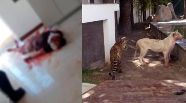 Tigres atacan a su dueño; en el lugar también había dos leonas