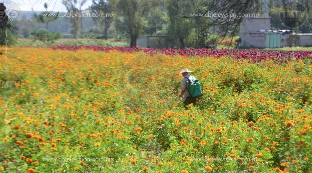 Campesinos mantienen el color en el sendero de flores para Día de Muertos