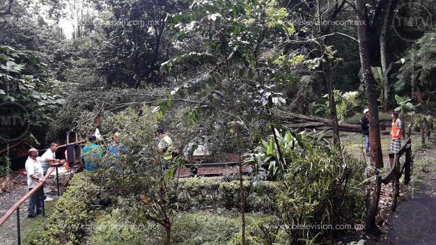 Árbol aplasta local en el Parque Nacional de Uruapan; hay un herido