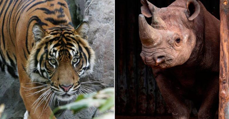 China autoriza el uso de cuernos de rinoceronte y huesos de tigre