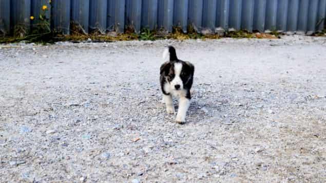 Chernóbil está siendo poblada por cachorros que no se deben acariciar