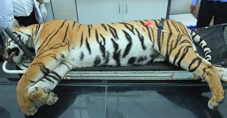 """Acaban con la vida de una tigresa de una """"inteligencia inusual"""", llevaba dos años matando humanos"""