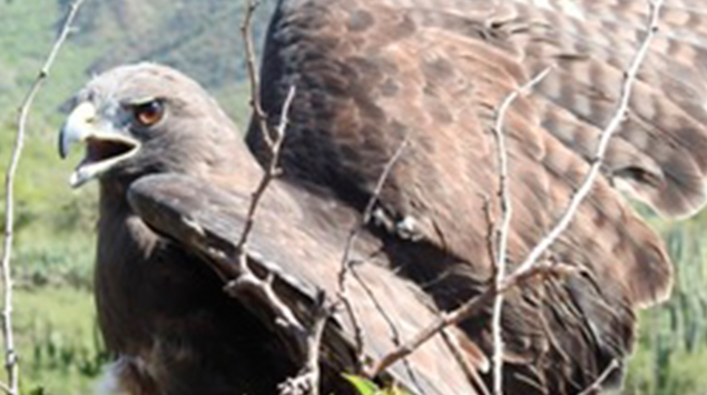 Reintegra Profepa tres aguilillas cola roja en la reserva de la biosfera de Meztitlán