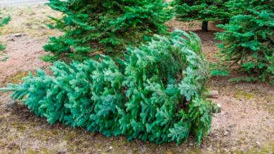 Regresan más de 2 mil árboles de navidad por plaga