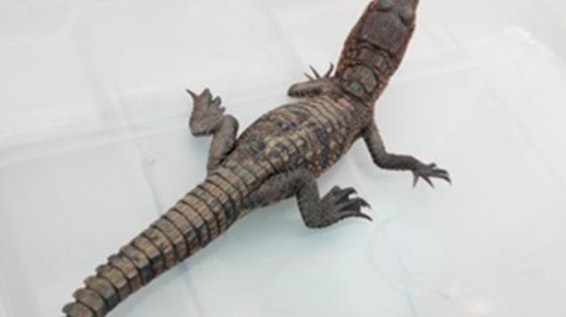 Rescatan a cocodrilo abandona en oficina pública en Guanajuato