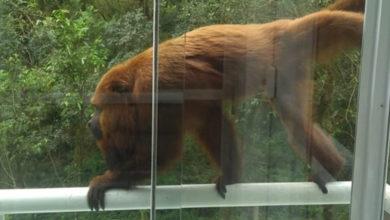 Mono entra por la ventana y arranca parte del cuero cabelludo a bebé de un año
