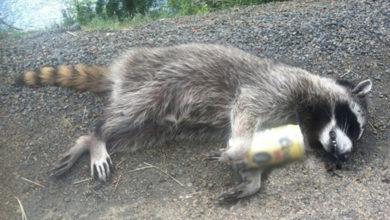 No estaban rabiosos, estaban ebrios, capturan a mapaches que actuaban sospechosamente