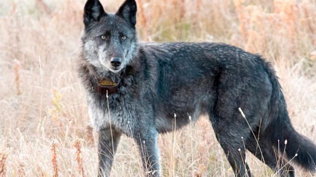 Cazador mata a Spitfire, la loba más querida del parque Yellowstone