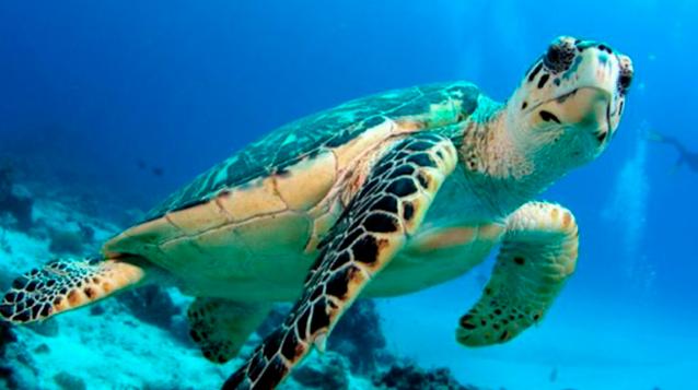 Todas las tortugas marinas tienen plástico en el estómago: Estudio