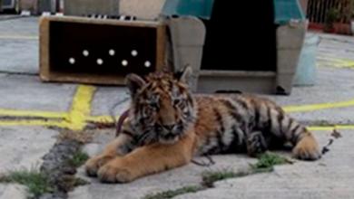 Aseguran tigre siberanio en restaurante de la CDMX