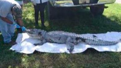 Profepa rescata una lechuza y da destino final a cocodrilo en Quintana Roo