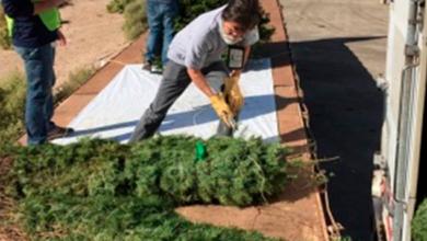 Impide Profepa ingreso de más de 7 mil árboles de navidad con plaga