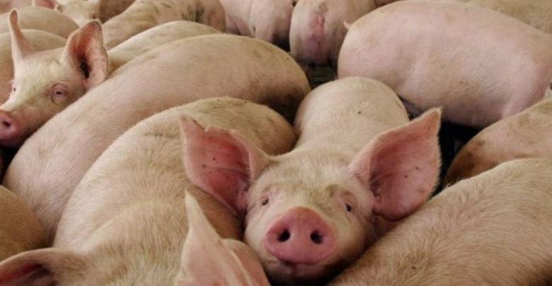 Trasplante de piel de cerdo a humanos ya es una realidad