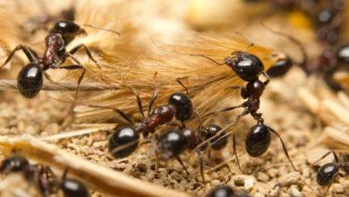 Hormigas también ayudan a la contaminación del planeta con su 'basura'