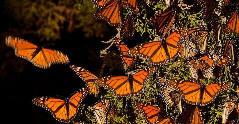 SEMARNAT, Gobierno, ejidatarios y comuneros diseñarán plan para rescatar la Reserva de la Mariposa Monarca