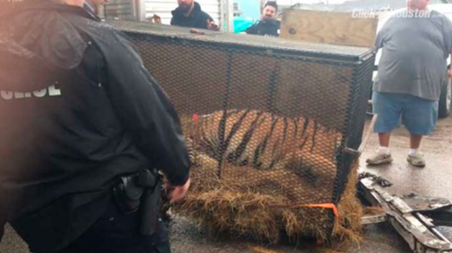 Entró a fumar marihuana a una casa abandonada y salvó a un tigre