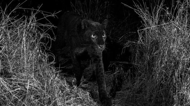 Por primera vez en 100 años, captan en África a un leopardo negro extremadamente raro