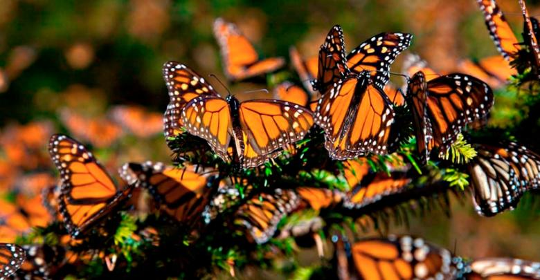 Zitácuaro: Sede del XXVII Festival de la Mariposa Monarca