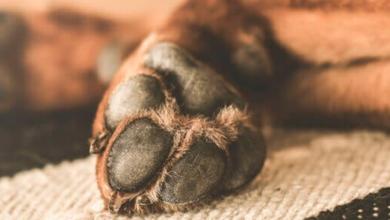 Photo of OMS certifica a México como país libre de rabia humana transmitida por perro