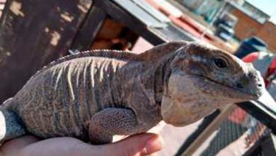Profepa asegura dos iguanas rinoceronte