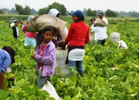 100 mil niños michoacanos trabajando de jornaleros debido a la necesidad