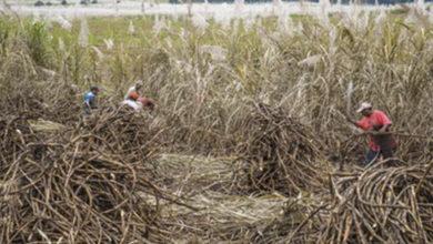 Incorporará Sader al sector cañero en el programa Producción para el Bienestar 2019