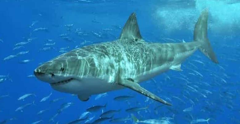 FOTOS: Tiburón blanco gigante muere al atragantarse con una tortuga marina