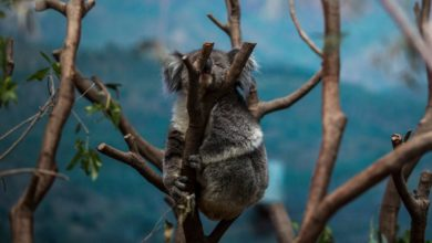 Declaran al koala como funcionalmente extinto