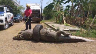 Cocodrilo termina muerto por atorarse en una llanta en canal de Veracruz