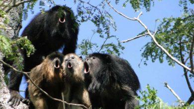 Monos aulladores de Veracruz son encontrados muertos debido al calor