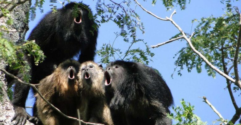 Howler monkeys from Veracruz are found dead due to the heat