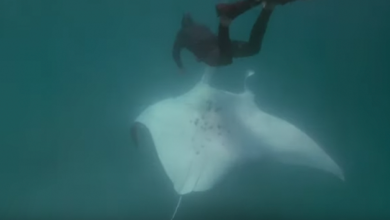 "VIDEO: Mantarraya gigante se acerca a buceador para ""pedir"" que le salve la vida"