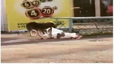 Video: Perrito desata a un pitbull amarrado y lo lleva de paseo