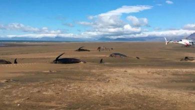 Encuentran 50 ballenas muertas en Islandia
