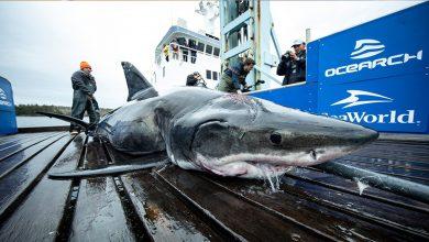 Photo of Hallan tiburón de 4 metros que fue mordido por un animal más grande
