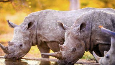 Photo of Parque nacional autoriza matar cazadores para proteger a rinocerontes