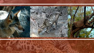 Photo of Identificación de grandes carnívoros silvestres en México