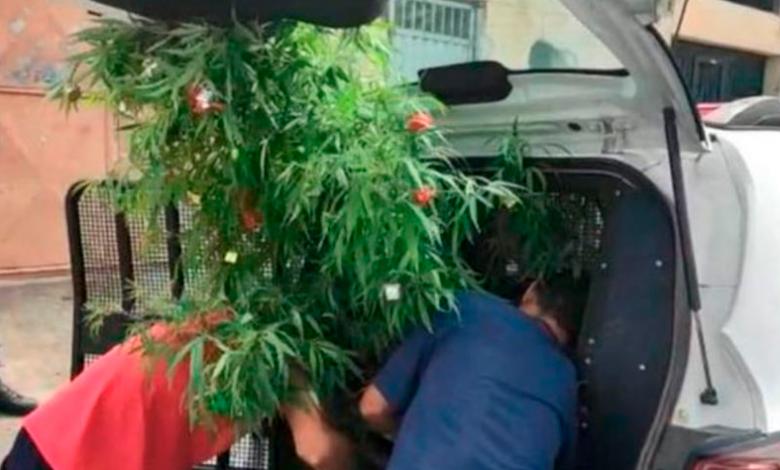Detienen a hombre por tener una planta de marihuana como árbol de Navidad