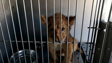 Photo of Rescatan cachorro de león africano, abandonado dentro de un vehículo en Santiago, N.L.