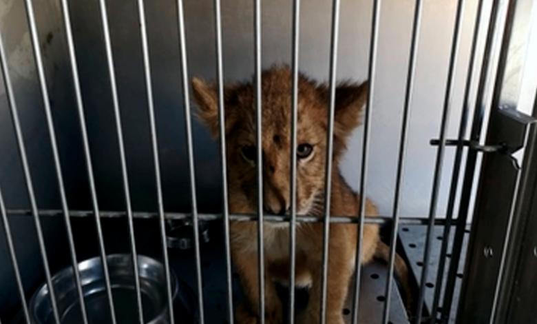 Rescatan cachorro de león africano, abandonado dentro de un vehículo en Santiago, N.L.