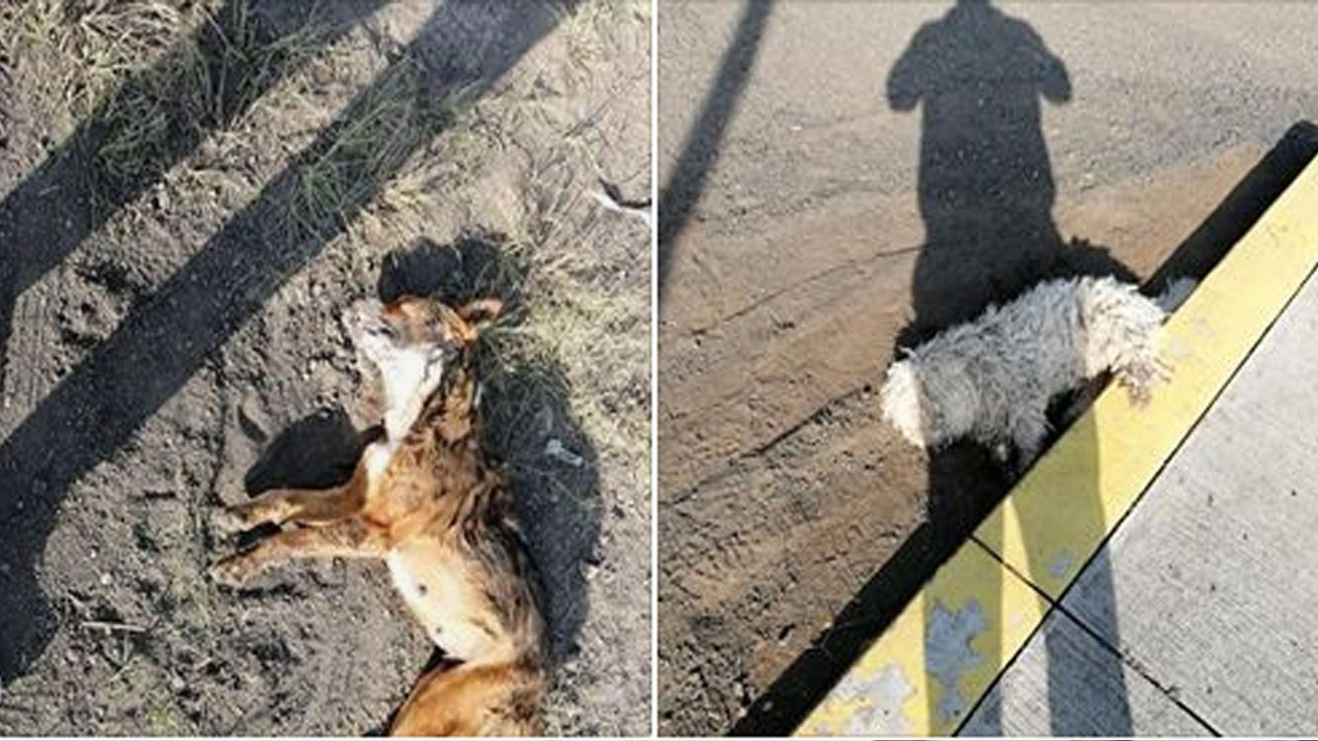 Denuncian envenenamiento masivo de perritos en fraccionamiento de Morelia