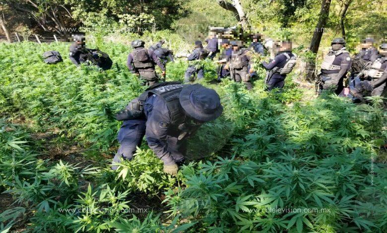 Destruye SSP dos plantíos con más de 8 mil plantas de marihuana