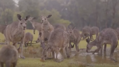 Photo of VIDEO: Animales australianos celebran la llegada de la lluvia
