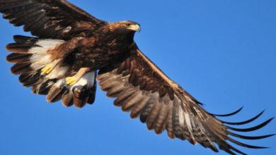Photo of Conoce más sobre: el Águila Real, especie emblemática de México