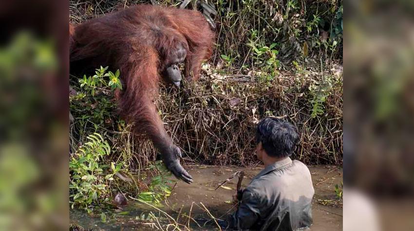 Viral: Orangután ofrece su mano para ayudar a hombre que quedó atascado en un río
