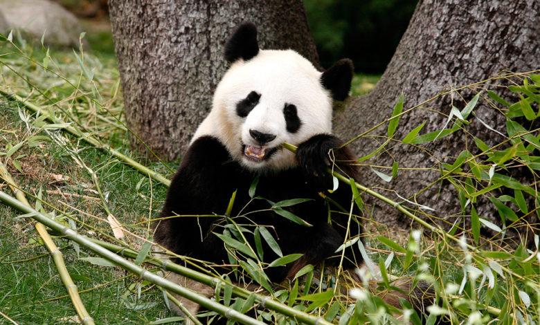 Encuentran raro espécimen de Panda en estado Salvaje