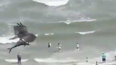 Photo of Video; Un águila caza un tiburón, y se lo lleva en vuelo
